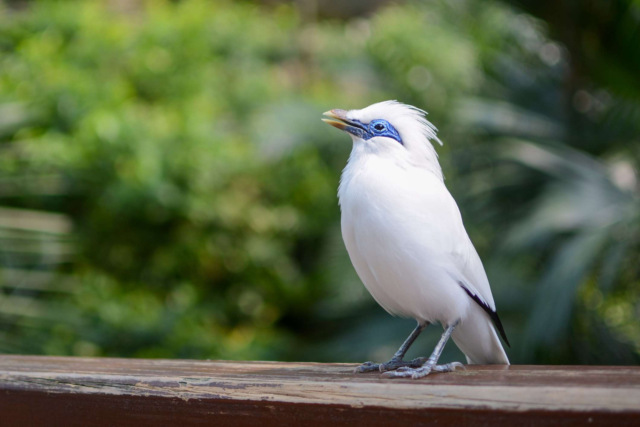 critically endangered Bali mynah perched on a wooden ledge in front of vegetation