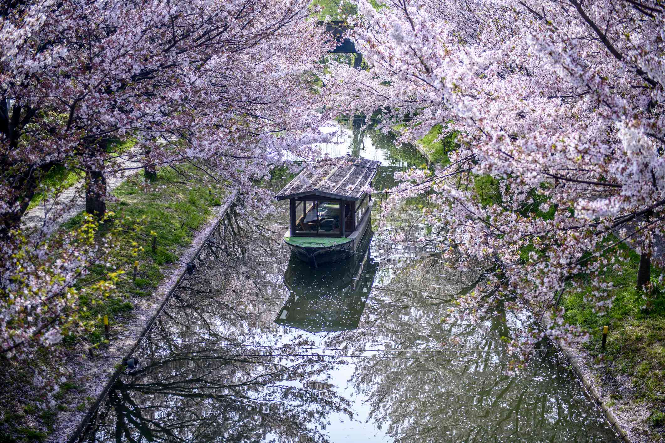 Cherry blossom trees in bloom on the banks of a small canal with a boat moving through the water