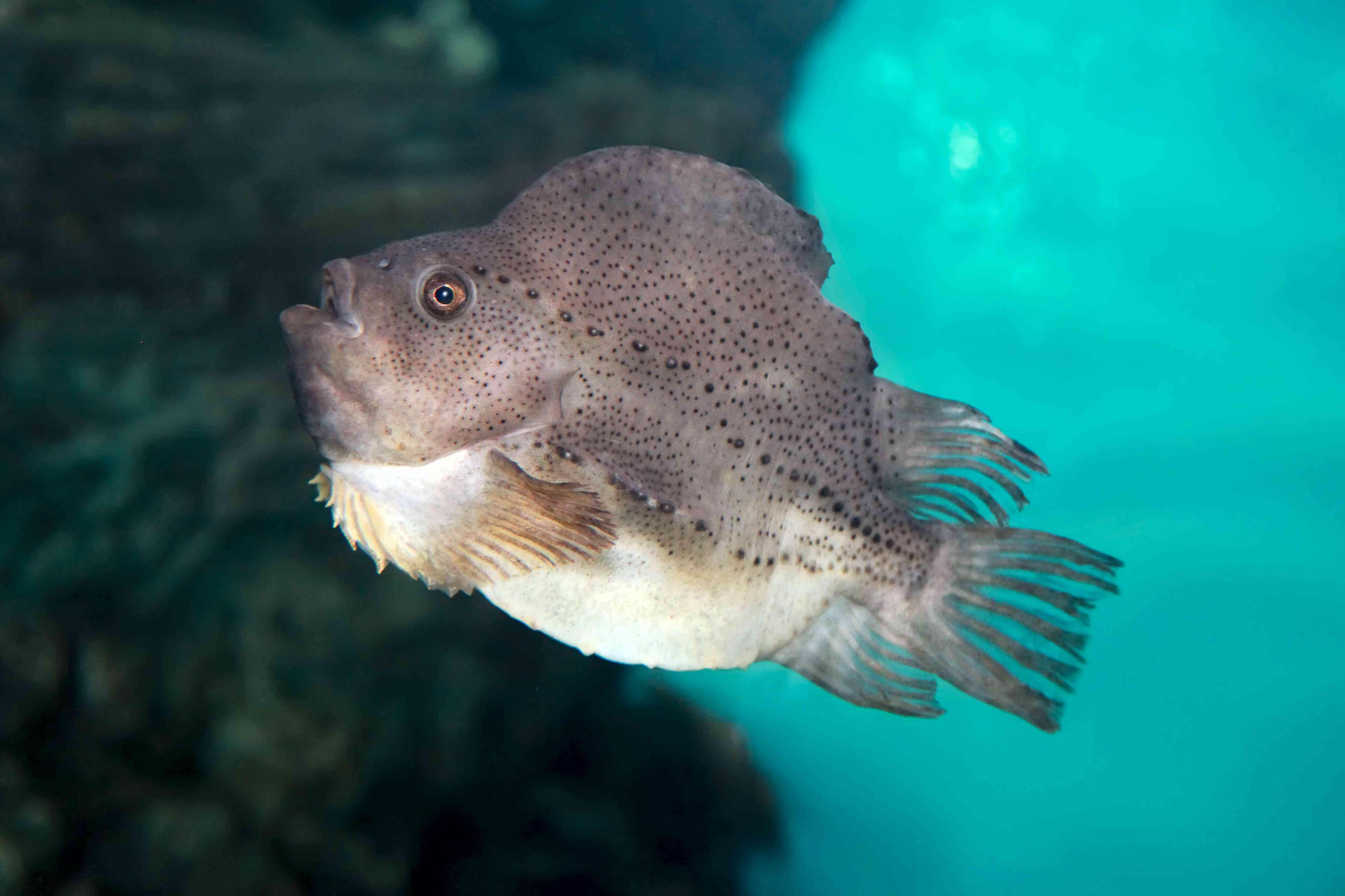 Cyclopterus lumpus, the lumpsucker or lumpfish