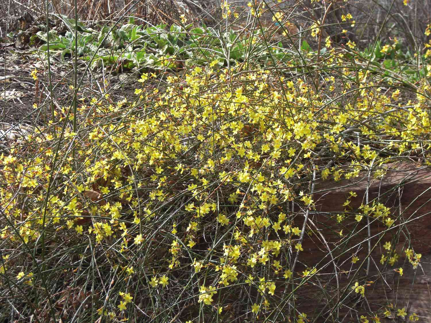 Hundreds of small yellow flowers grow amidst the thin, tangled mass of woody shrubbery of winter jasmine