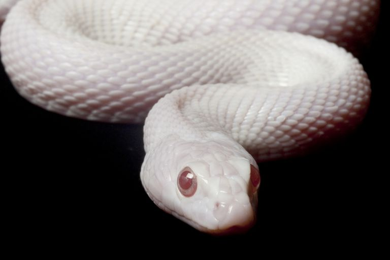 Albino snake on a black background