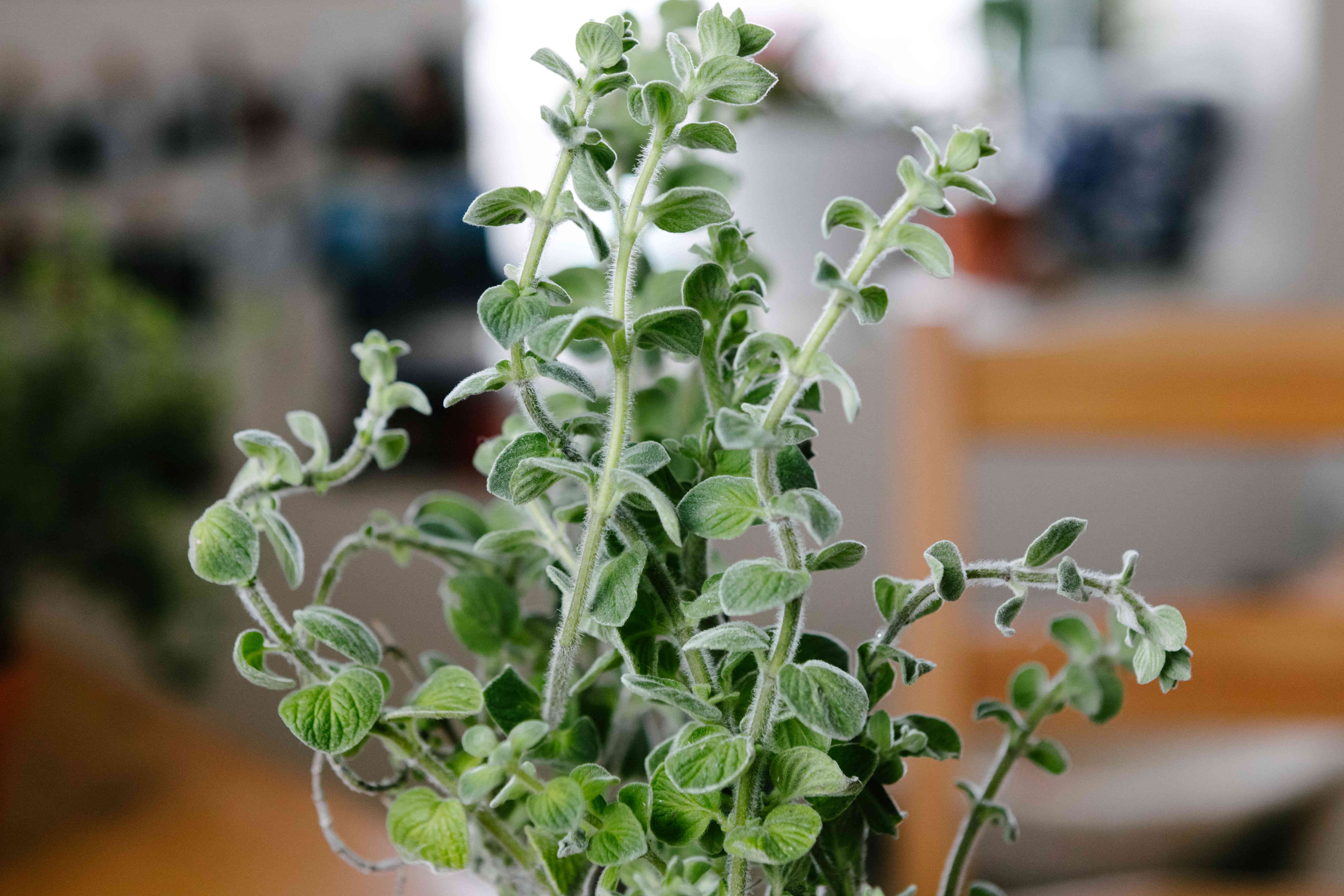 close-up foreground shot of fuzzy oregano marjoram herb with blurred house background