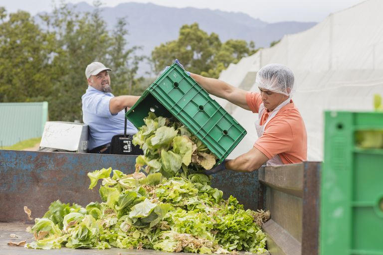 dumping cabbage leaves