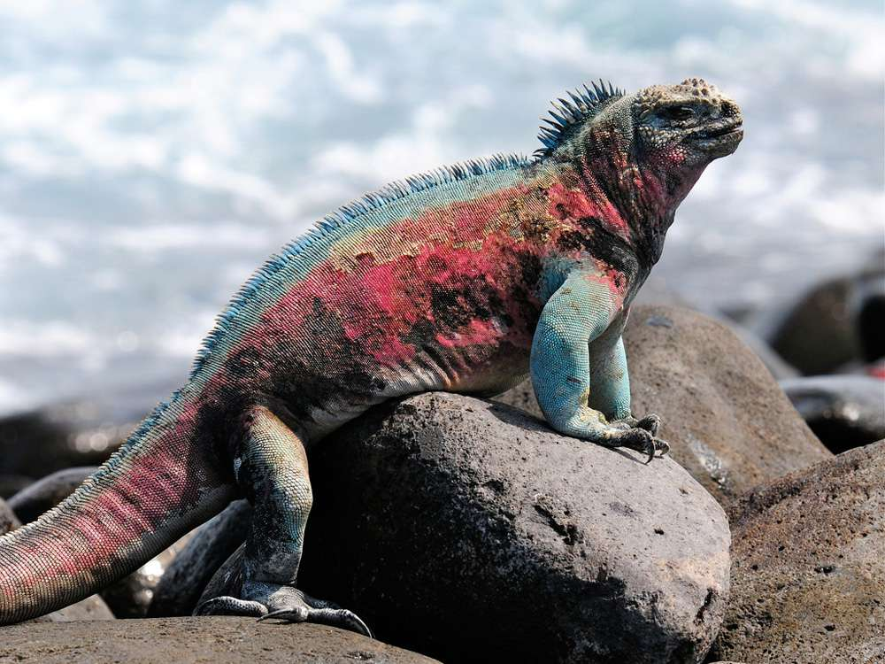 pink, teal, blue, and yellow marine iguana with salt encrusted skin on rocks on Espanola Island, one of the Galapagos Islands