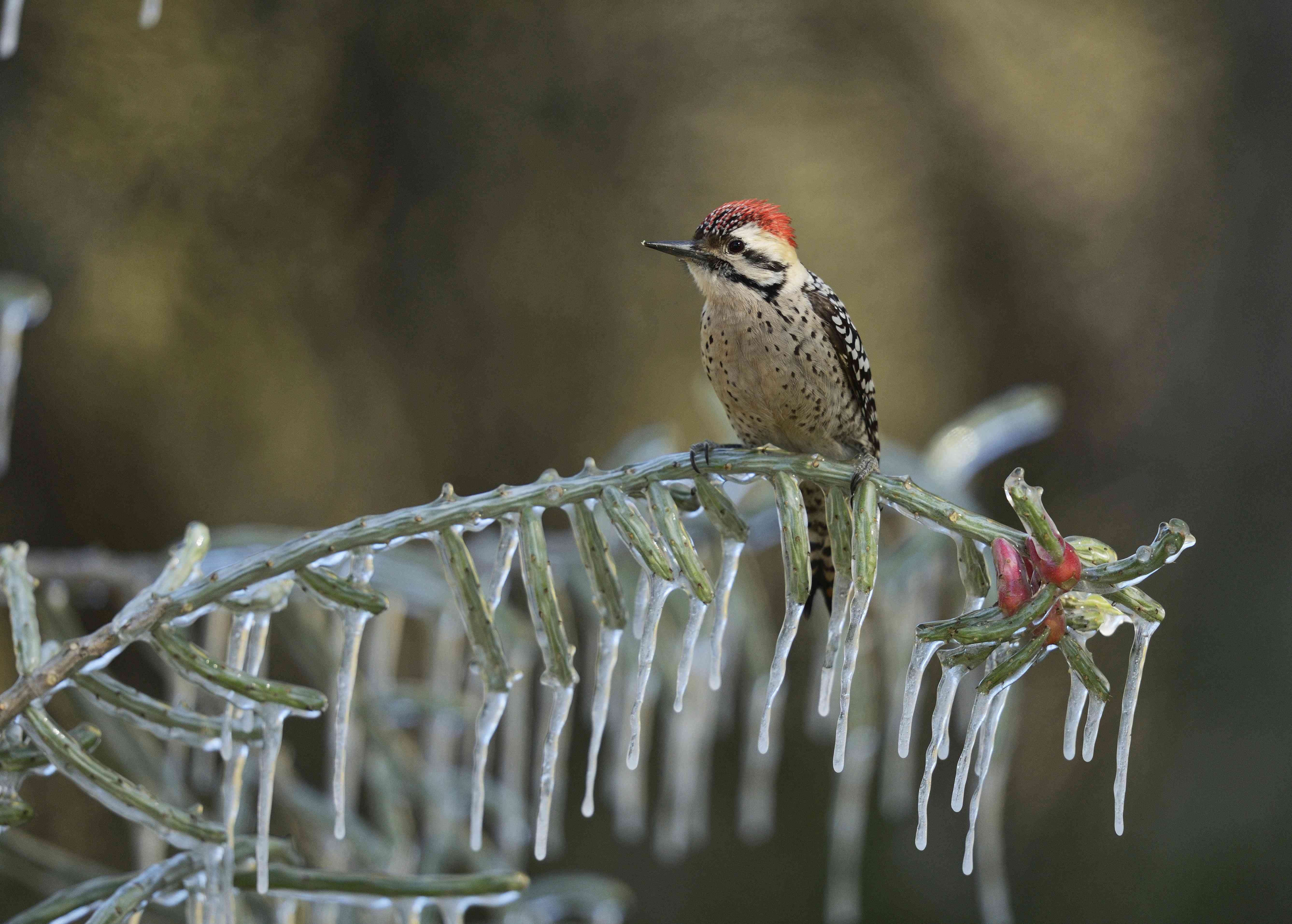 Ladder-backed woodpecker on a branch.