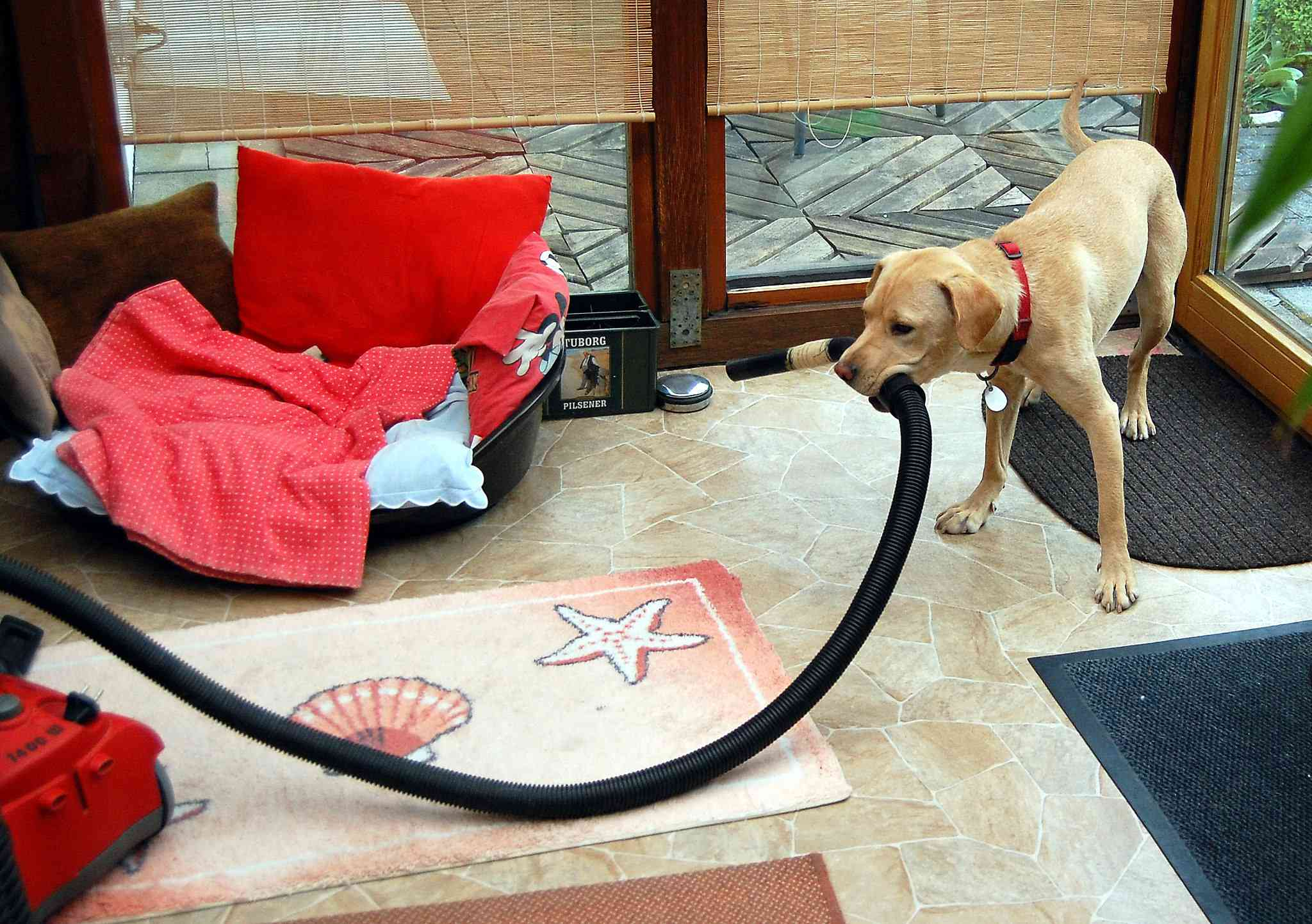 dog holding a vacuum