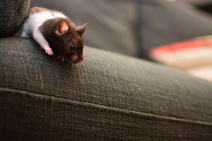 mouse on a grey sofa
