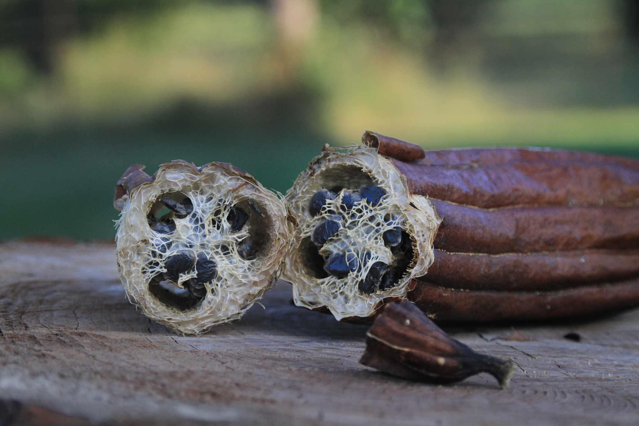 Luffa, Loofa or Loofah gourd with seeds