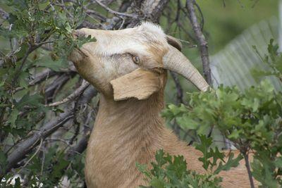 Goat eats low leaves off of a fallen tree