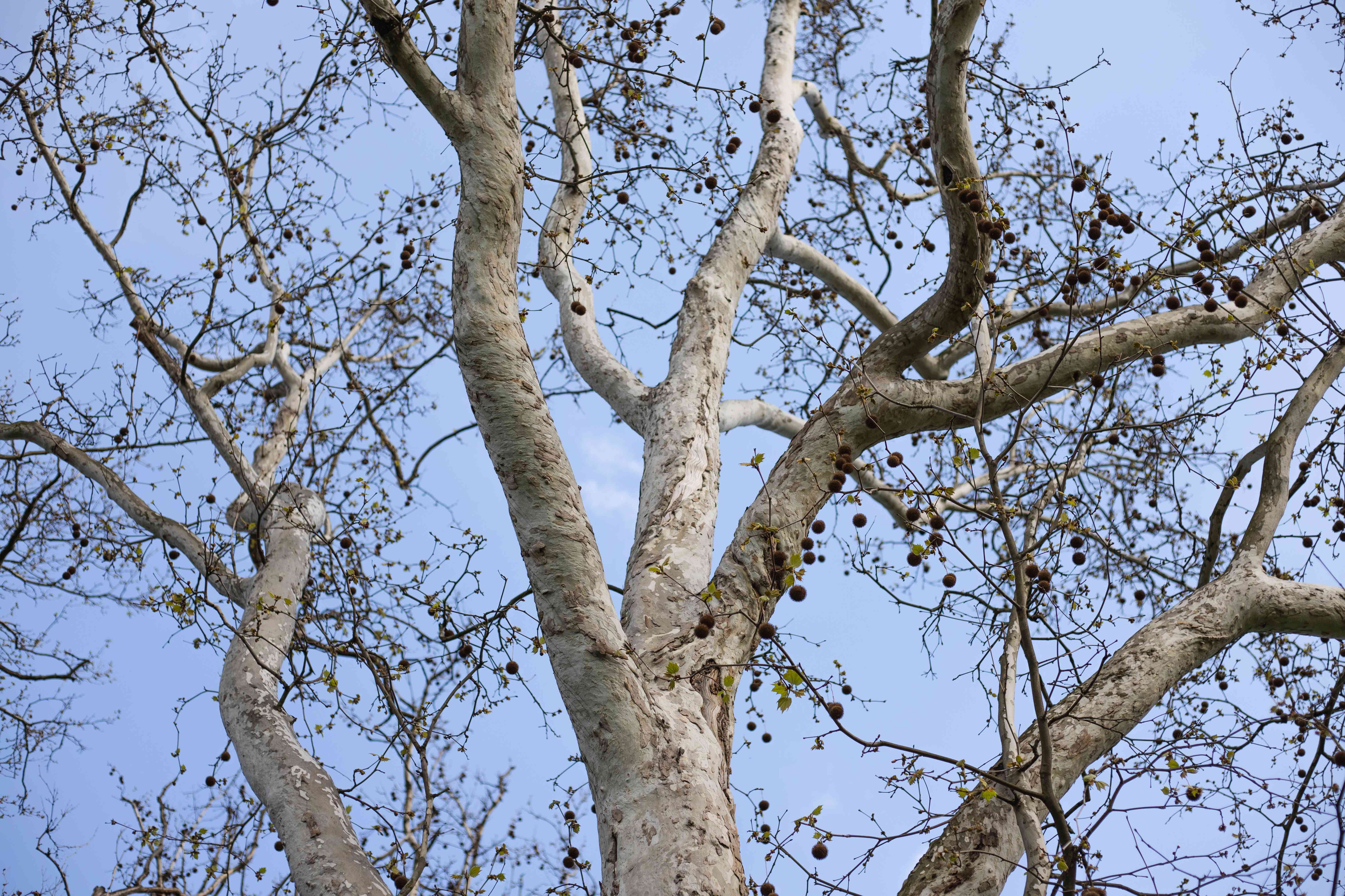 looking-up shot of beech tree with bare branches and blue cloudless sky