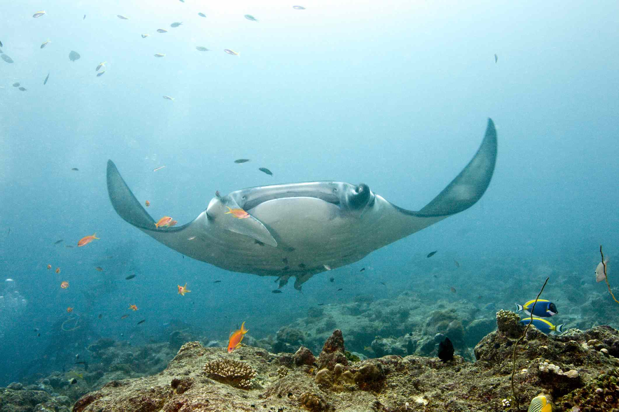 A manta ray, with its wings curved upward, above a shallow reef filled with fish
