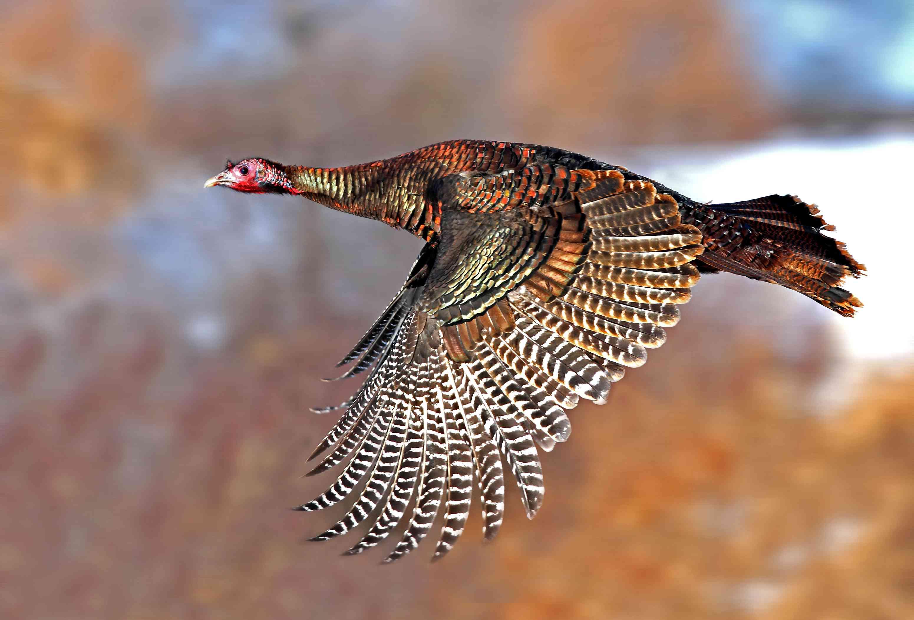 A wild turkey flies through the air