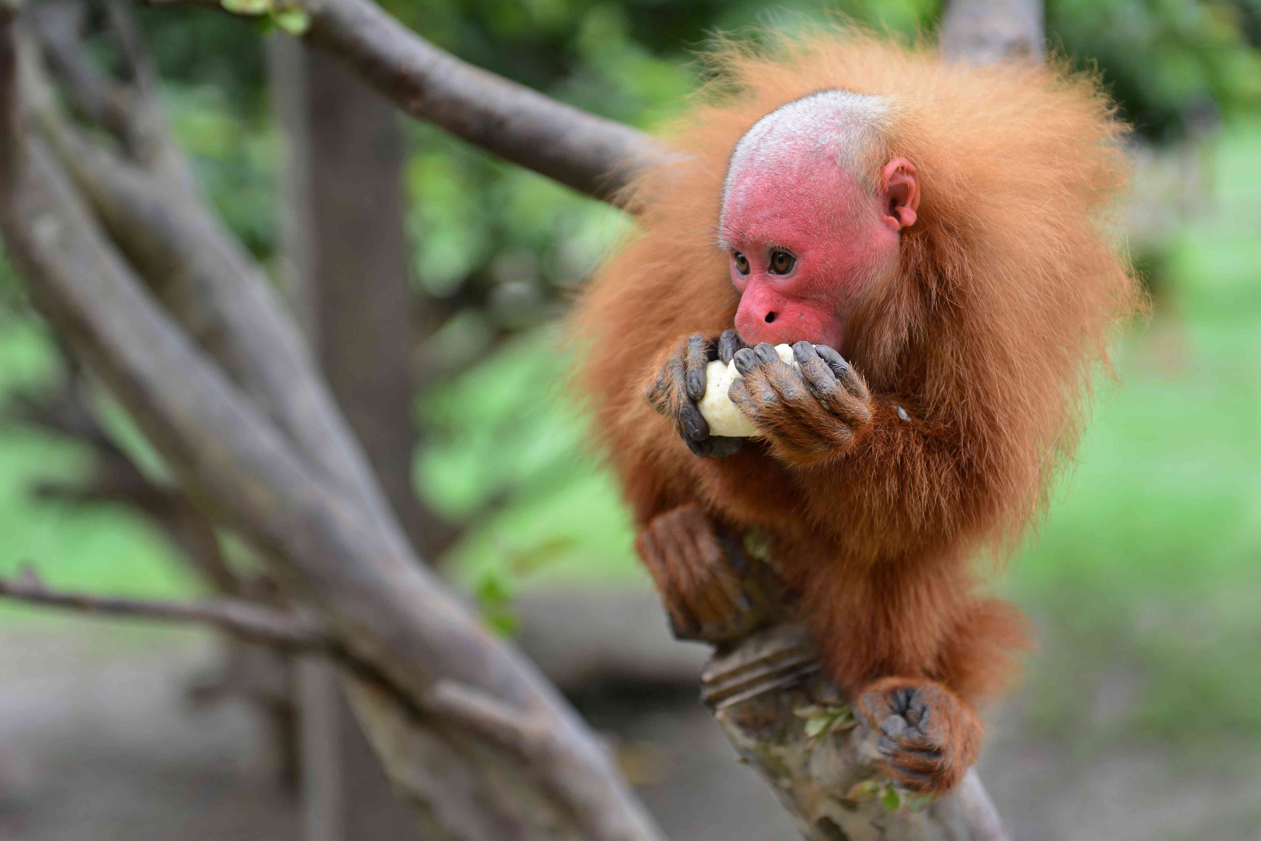A bald uakari with a vibrant red face enjoys a meal.