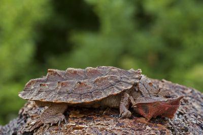 Matamata Turtle on Log