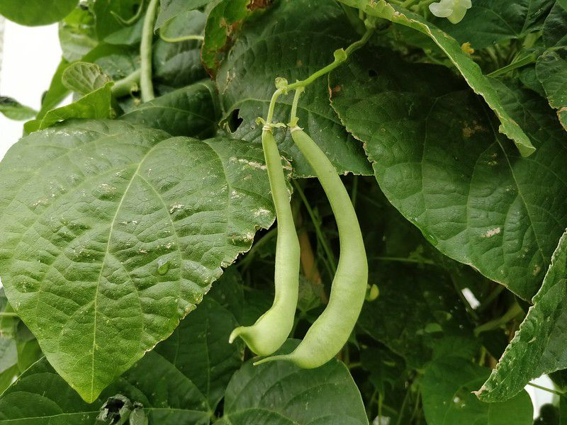 Green beans on the vine.