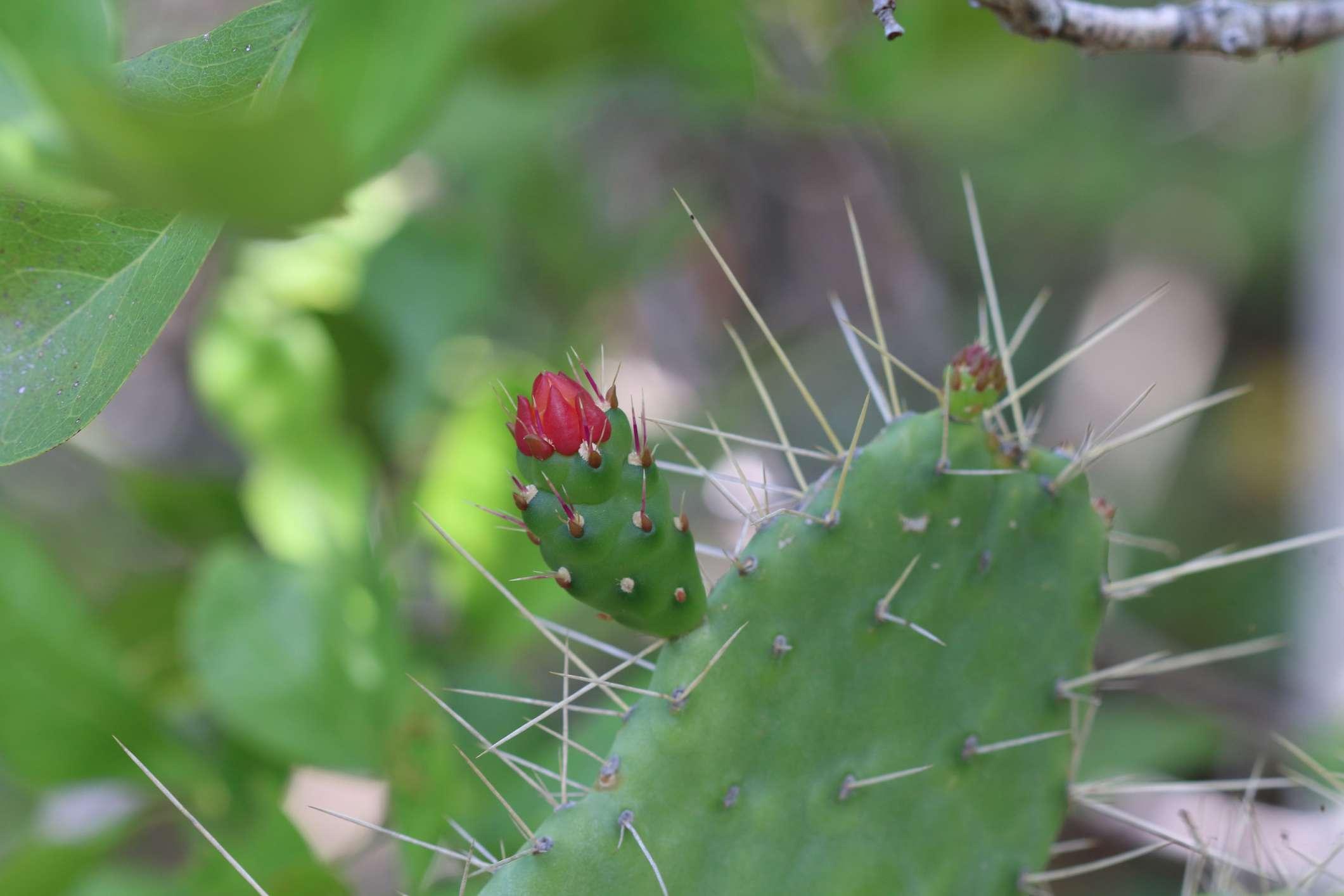 Consolea corallicola, or semaphore cactus