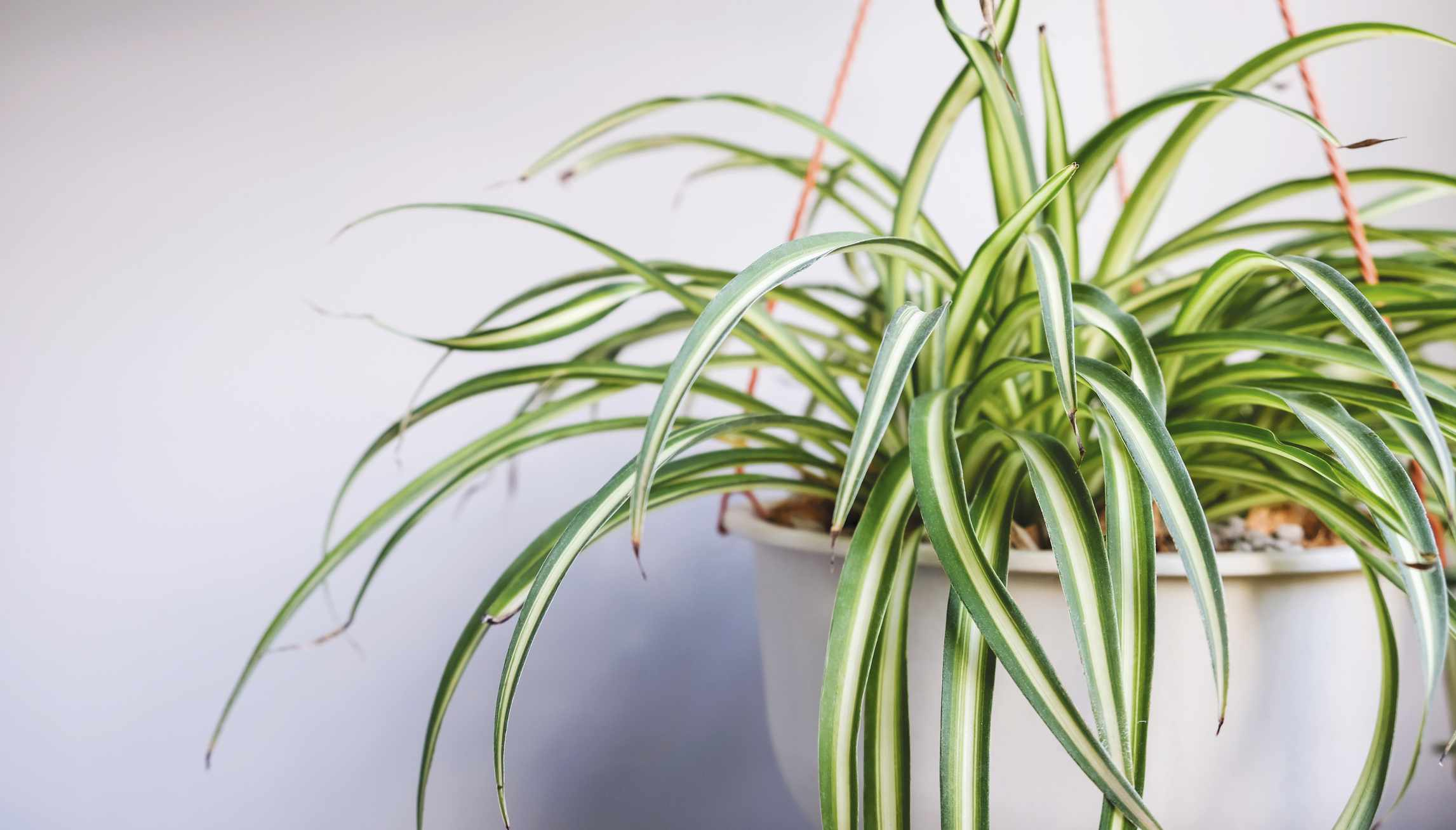 Spider plant in a hanging pot