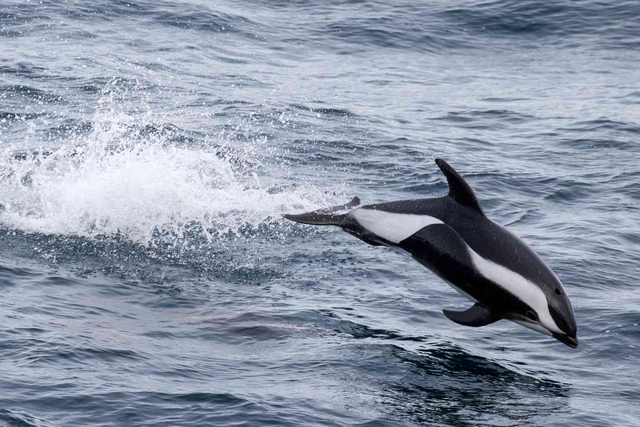 An hourglass dolphin jumping above the ocean's surface.