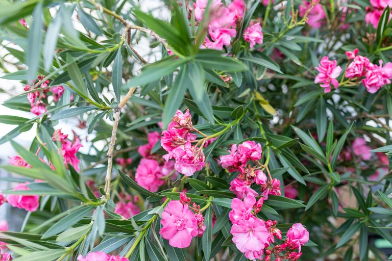 deadly but bright pink oleander with multiple blooms flourishes outside