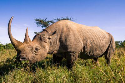An adult black rhino in Kenya