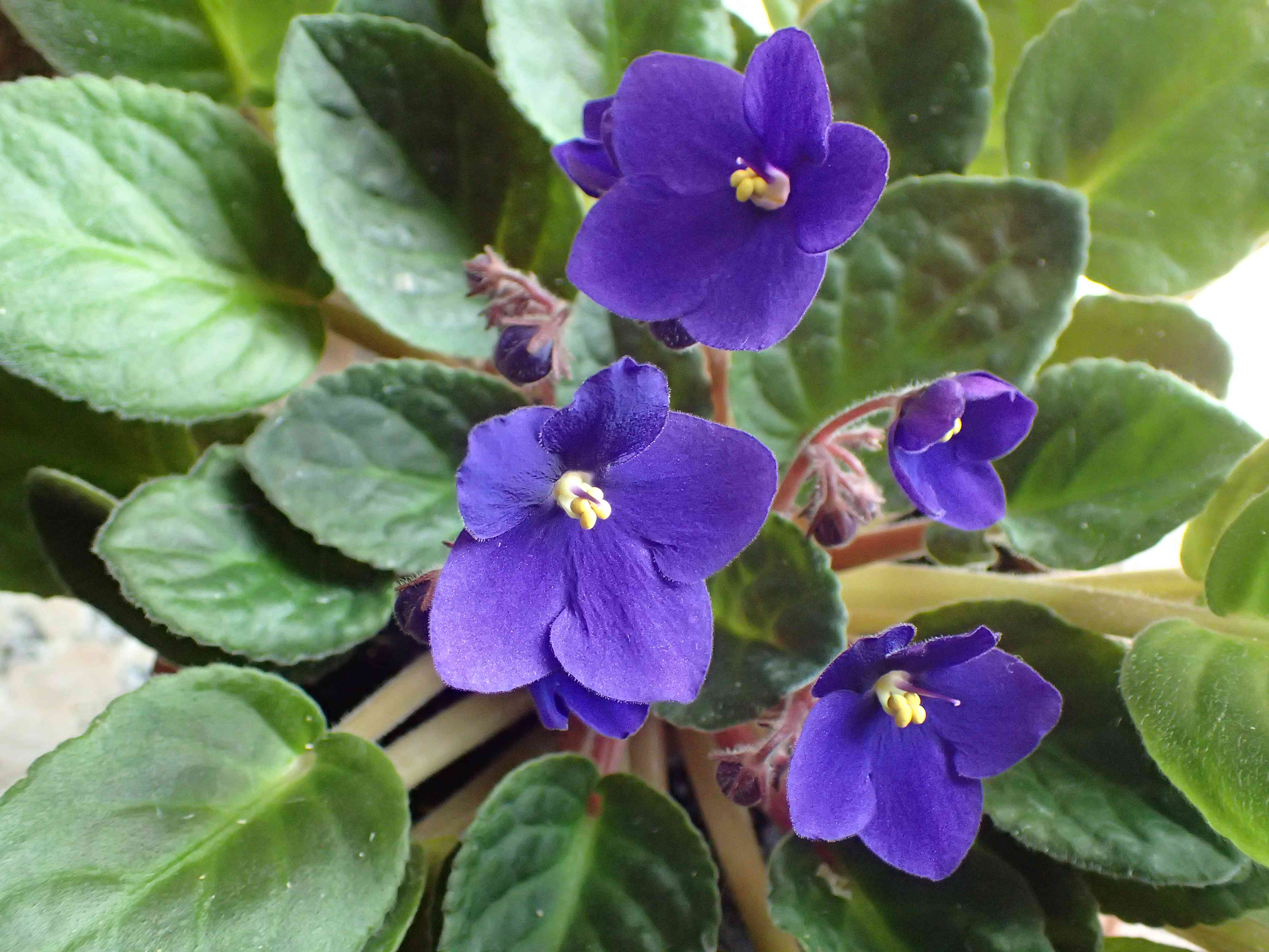 close up of African violet
