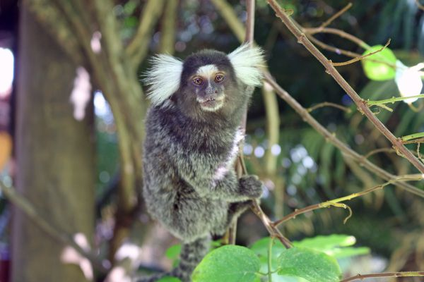 A white-tufted marmoset hanging from a small tree branch