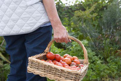 Hobby farmer holding basket of tomatoes