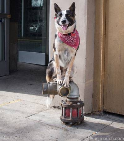 Niner stands ontop of a fire hydrant