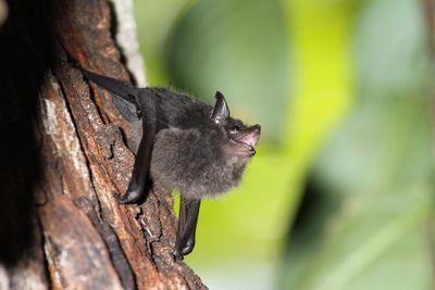 babbling bat pup