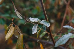close-up shot of powdery mildew on green leaves on shrub