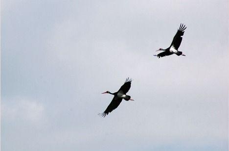 black stork ciconia nigra photo