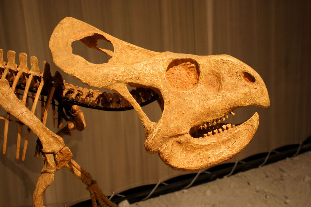 profile skull of protoceratops with parrot-like nose and mouth