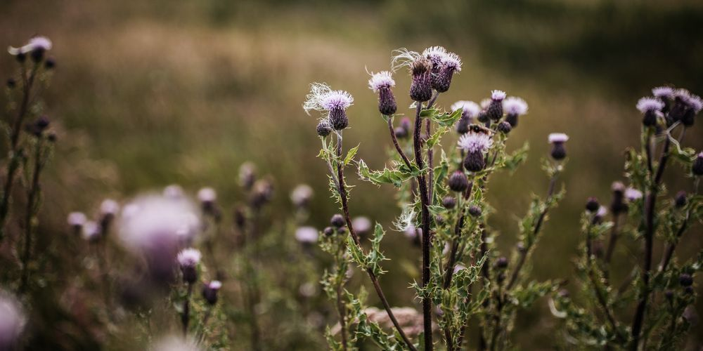 Beautiful thistles in a meadow in Scotland