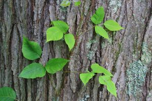 Close-up of Poison Ivy growing on a tree (Toxicodendron radicans)
