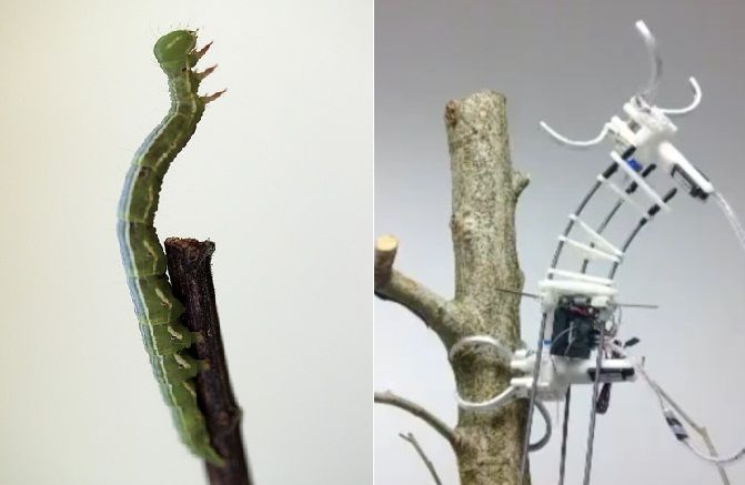 Side by side images showing a caterpillar in nature and a device designed for biomimicry