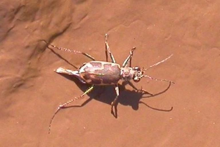 Salt creek tiger beetle on a red stone wall