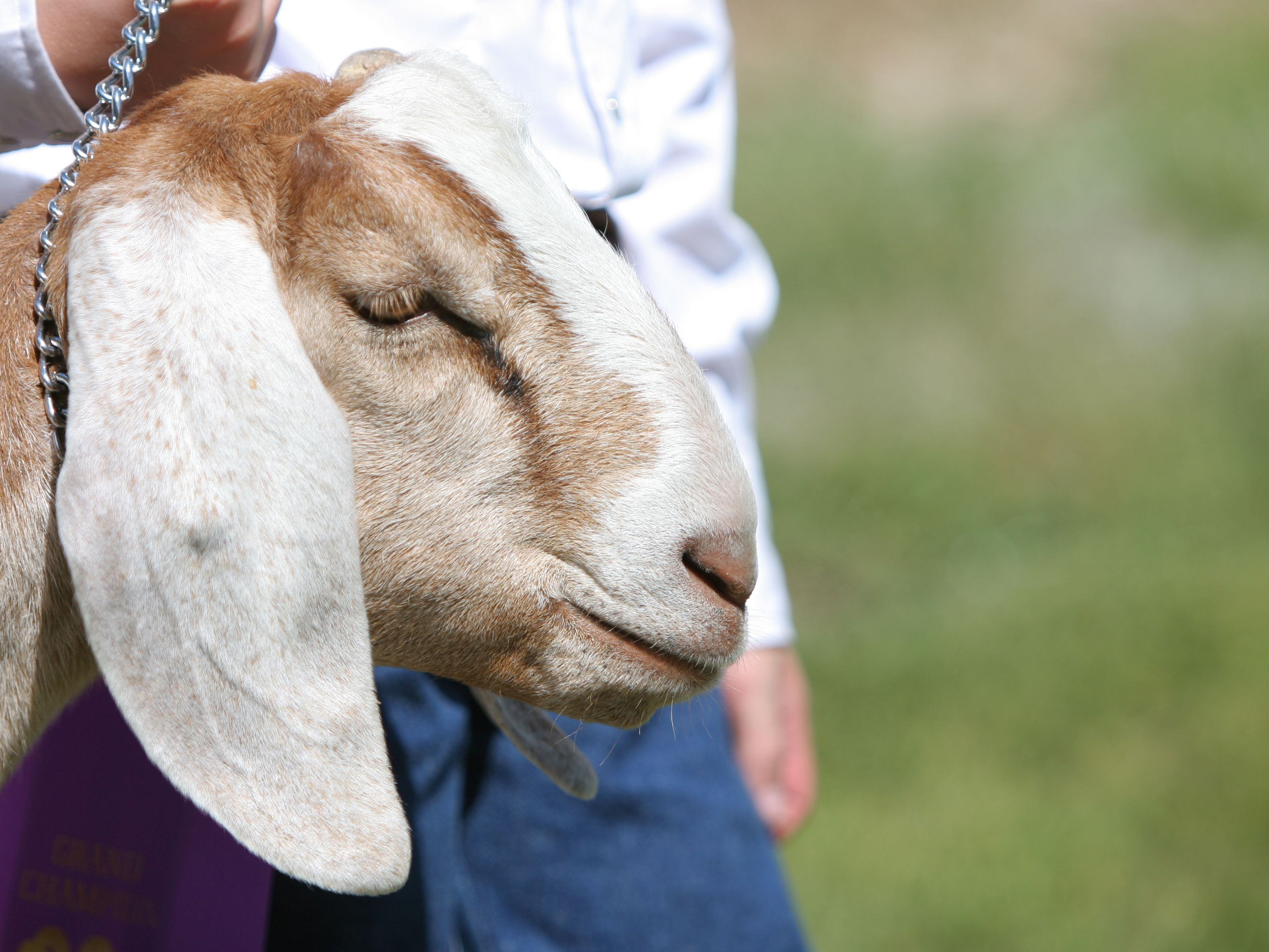 How To Buy Goats For Your Small Farm