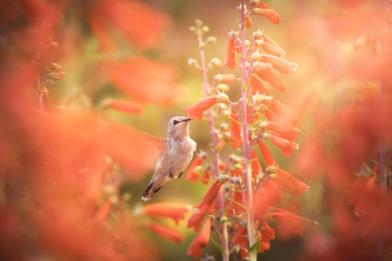 Hummingbird Surrounded by Red Flowers