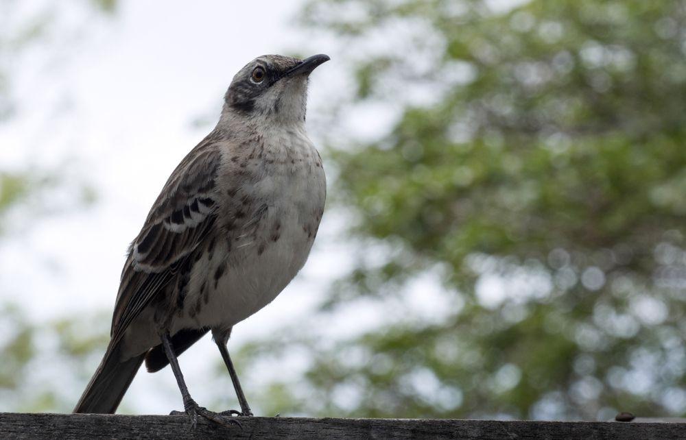 A San Cristobal mockingbird stands near a stand of tall green trees.