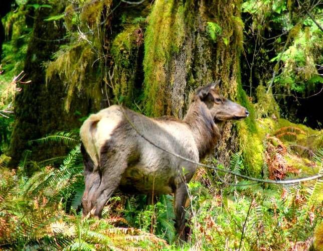 Roosevelt elk stands in tall ferns