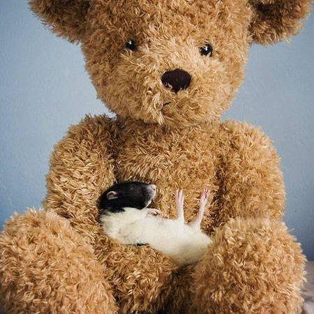 A rat sleeps in the lap of a big teddy bear