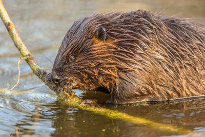 Eurasian beaver eating from a branch