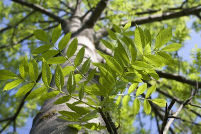 Green leaves against the trunk of an Ash tree.