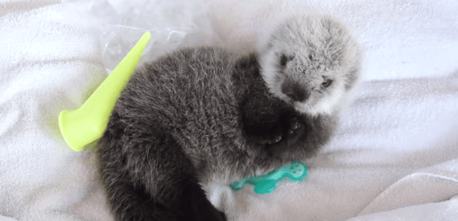 A Rescued Sea Otter Pup Is Swimming in Cute at the Vancouver Aquarium
