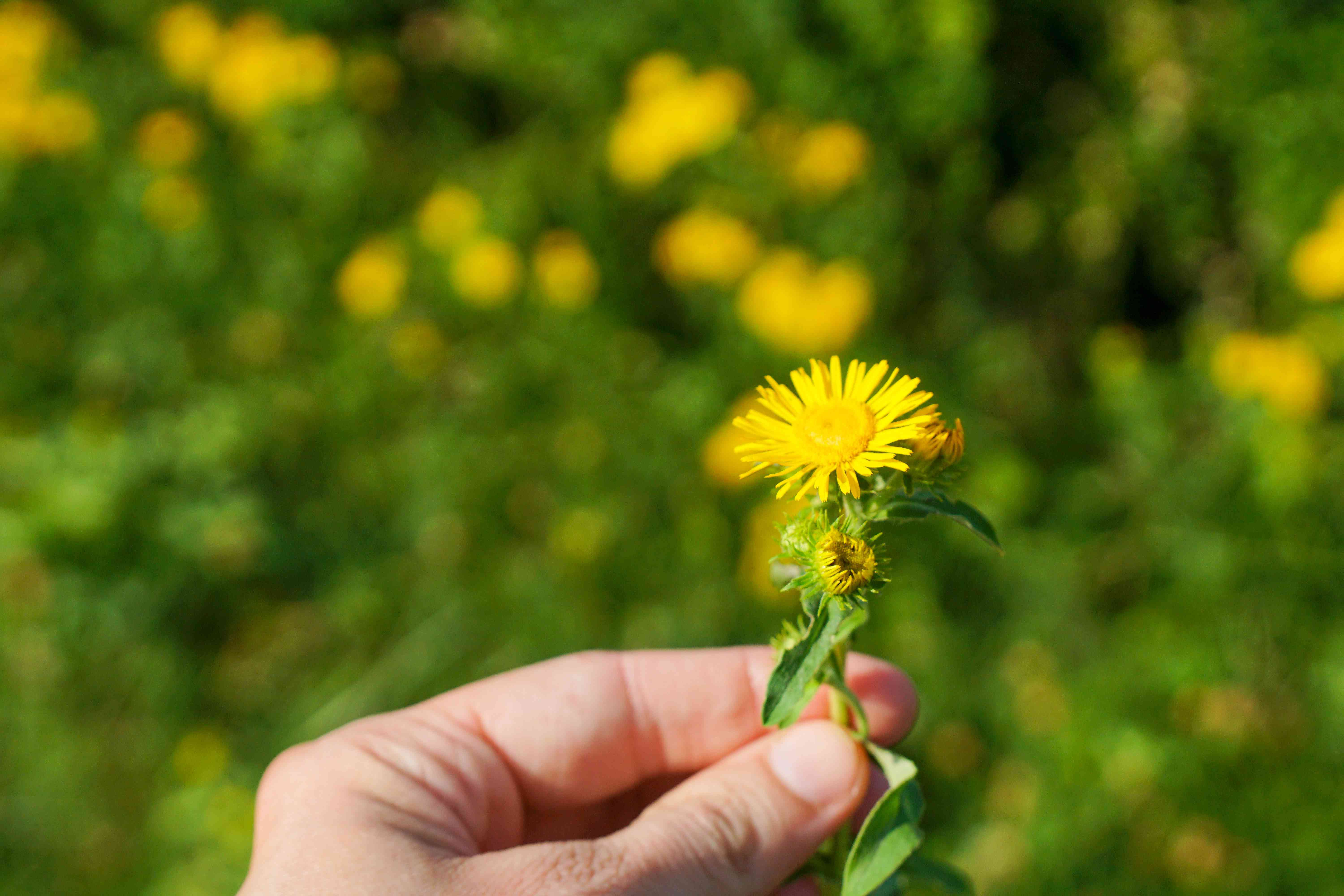hand holds up picked small yellow flower with a background of yellow flowers behind
