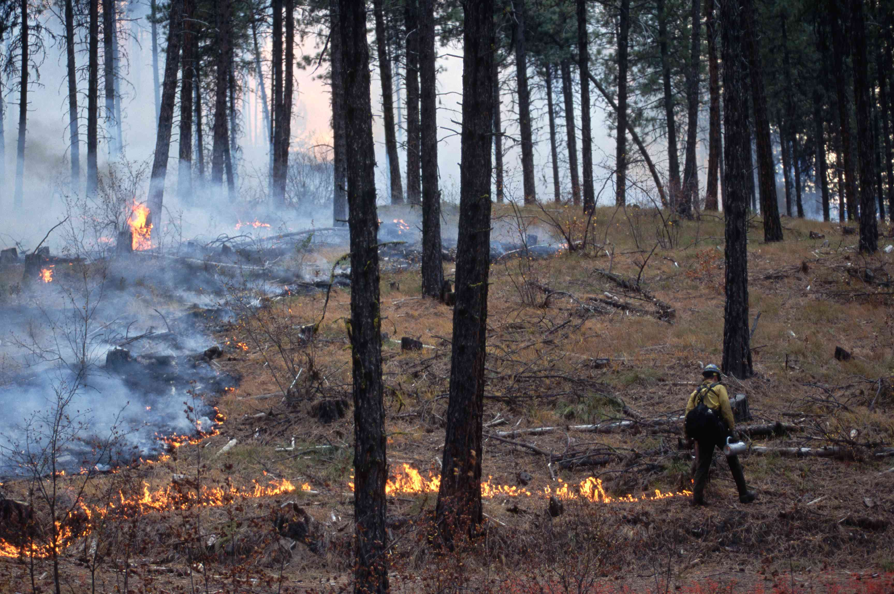 Forest Worker Conducting a Controlled Burn