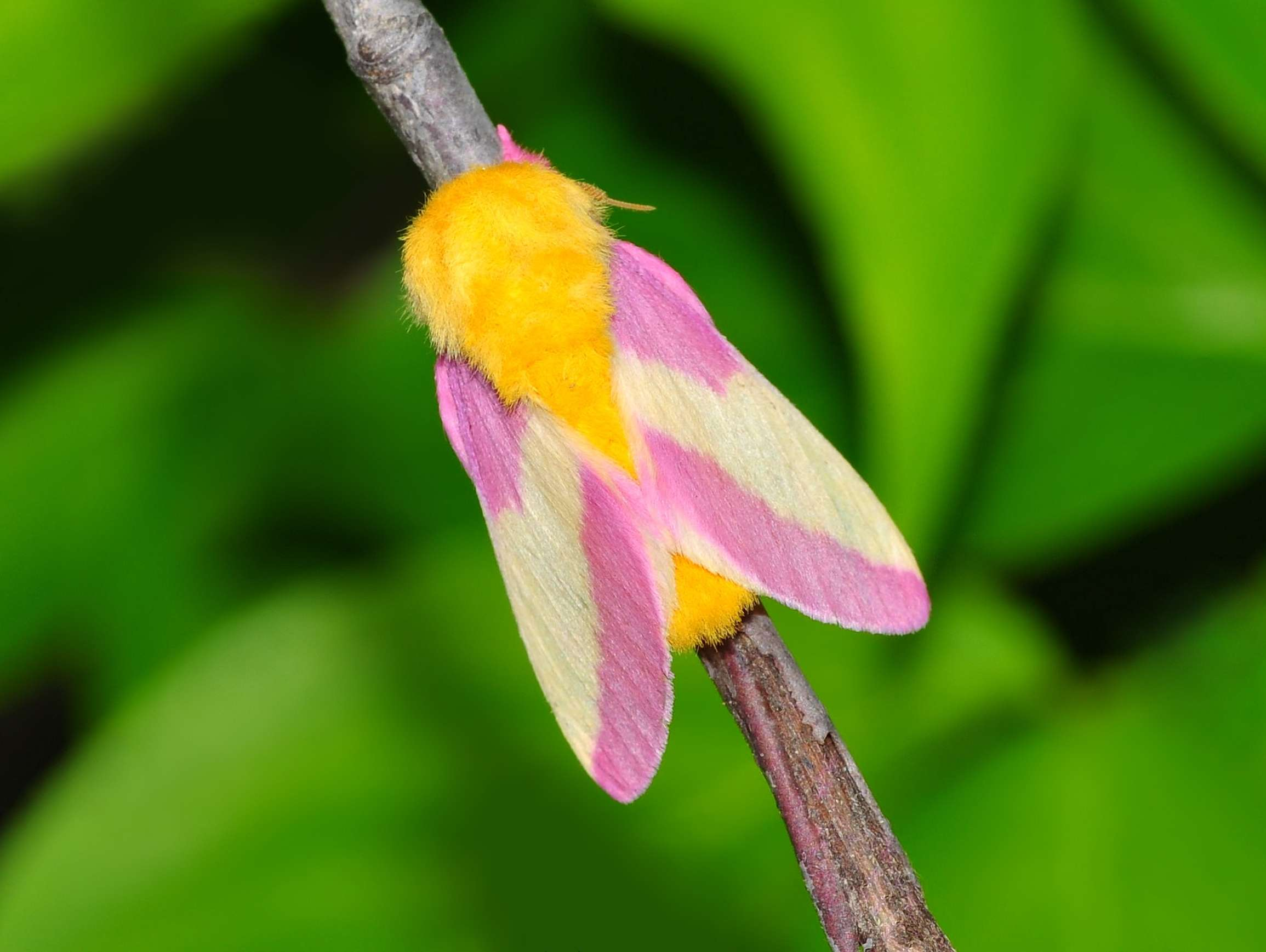 A moth with pink and white wings and a furry yellow abdomen sits on a branch