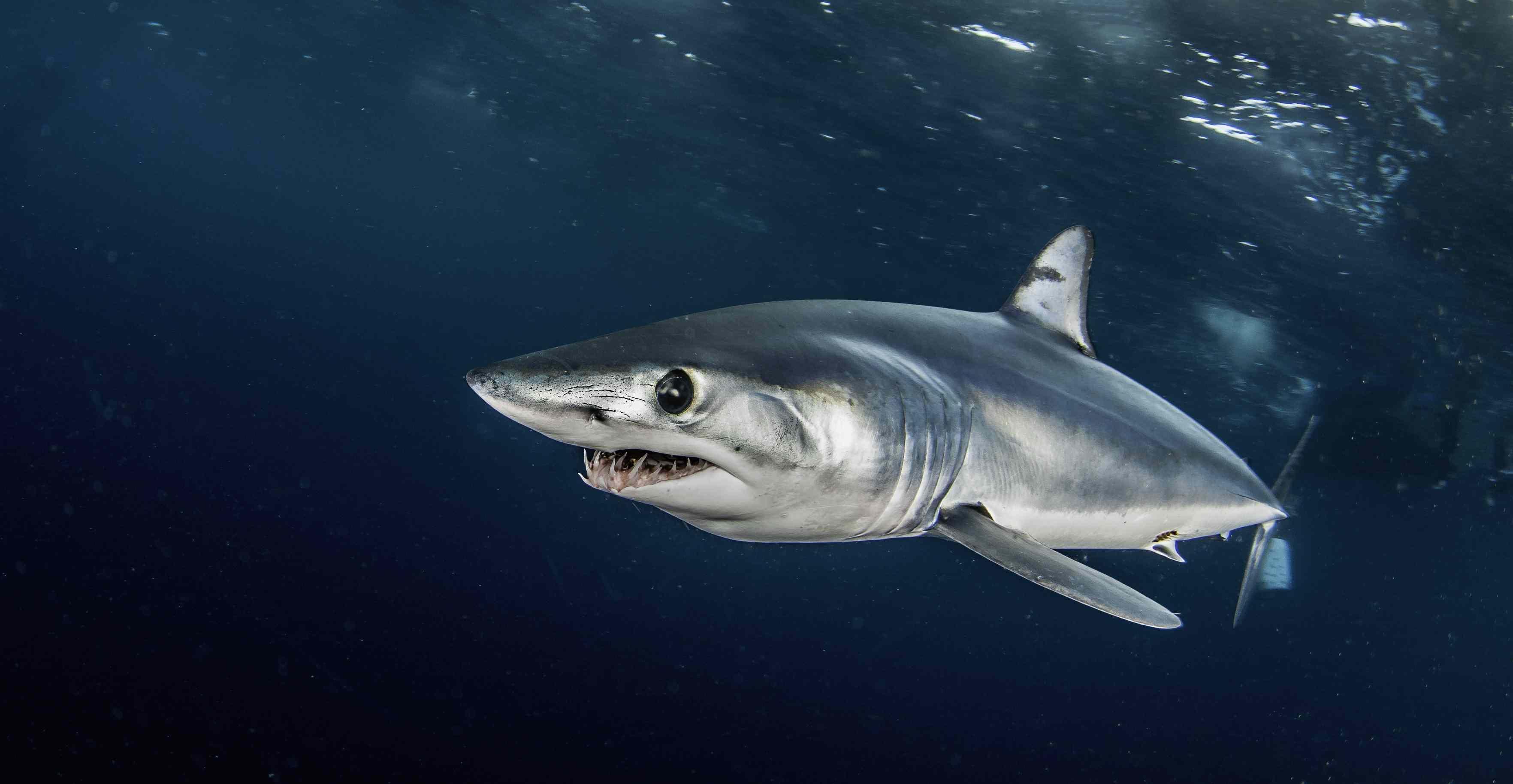 Close up of mako shark underwater