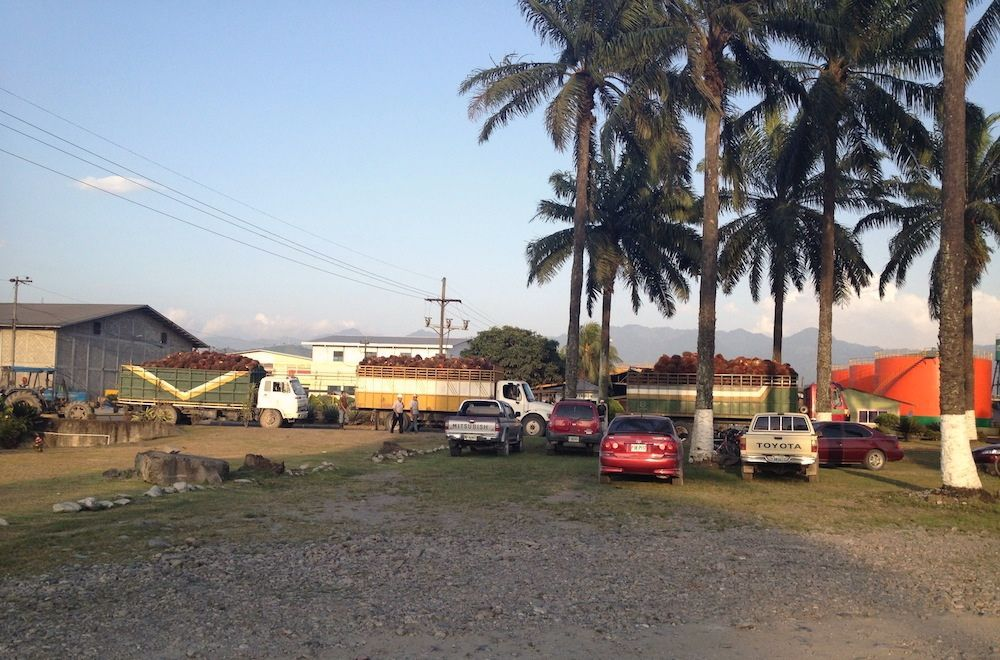 large palm trees with trucks of palm fruit in background
