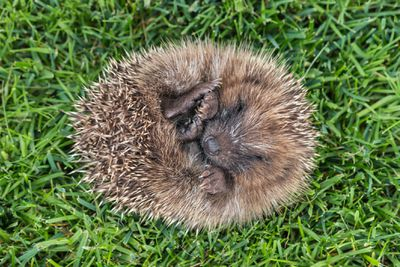 A hedgehog in a state of torpor on a field of grass.